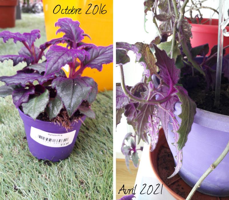 évolution de mon gynura (plante violette poilue) d'octobre 2016 à avril 2021