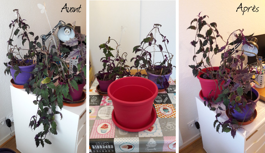 rempotage de mon gynura (plante violette poilue) dans 2 pots plus grands